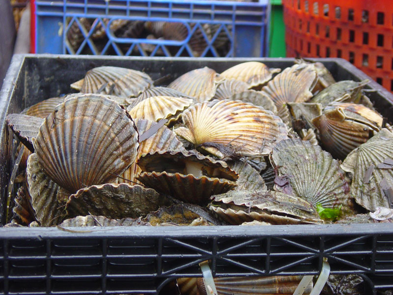 Bushel of scallops   Growth line evident on some