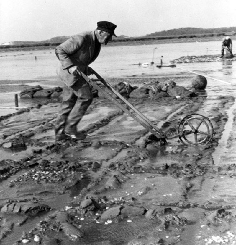 Dr  Albert Redfield using hand plow at Barnstable Harbor