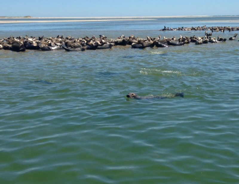 Seals hauled out on sandbar in Chatham Harbor Credit   Blue Claw tours